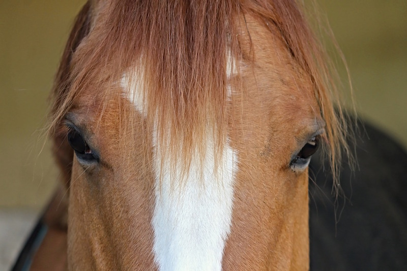 close up of a horse's head luxury horseboxes